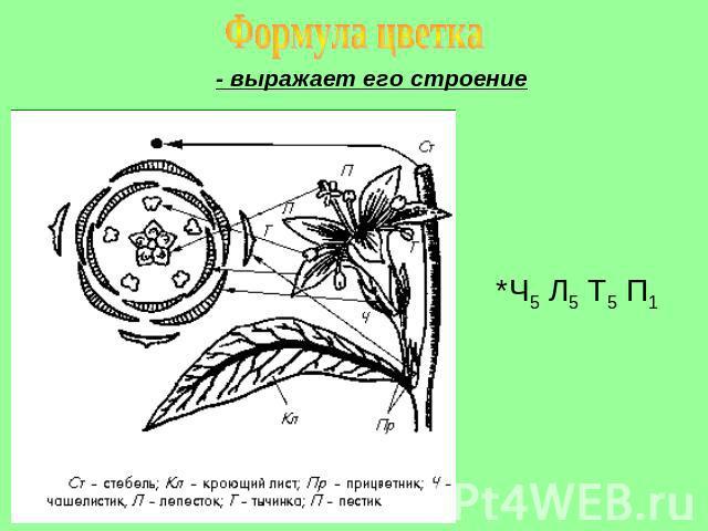 зимний формула цветка к гречишных растений картинки делать