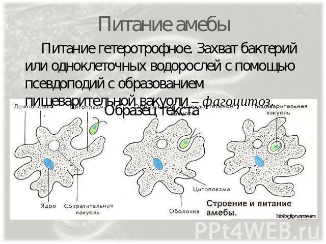 термобелье мужское движение амебы в сторону бактерии это используют