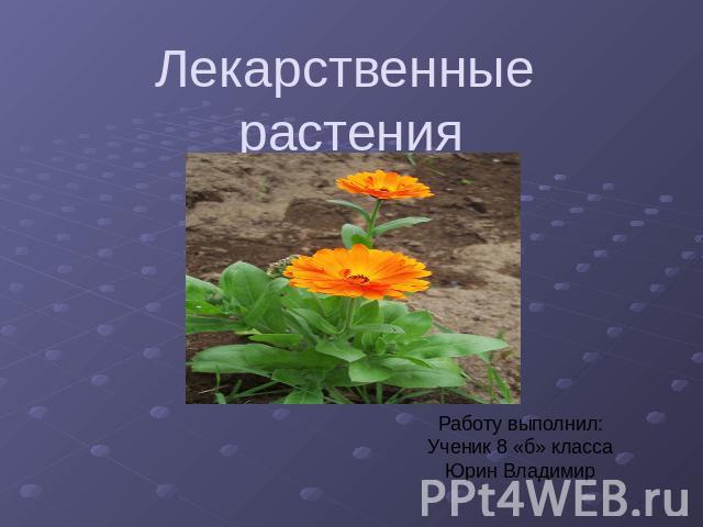 Презентация на тему Лекарственные растения класс скачать  Лекарственные растения Работу выполнил Ученик 8 б класса Юрин Владимир