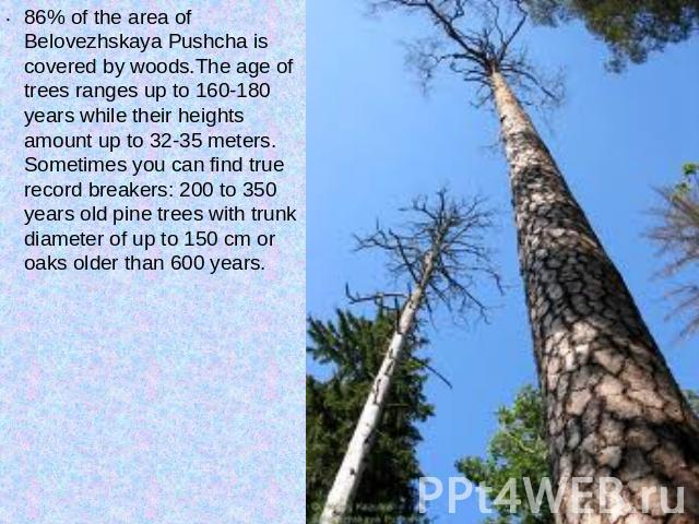 86% of the area of Belovezhskaya Pushcha is covered by woods.The age of trees ranges up to 160-180 years while their heights amount up to 32-35 meters. Sometimes you can find true record breakers: 200 to 350 years old pine trees with trunk diameter …