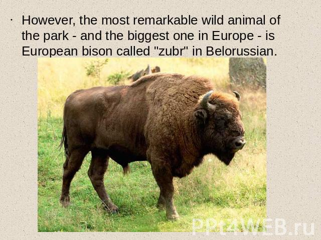 However, the most remarkable wild animal of the park - and the biggest one in Europe - is European bison called
