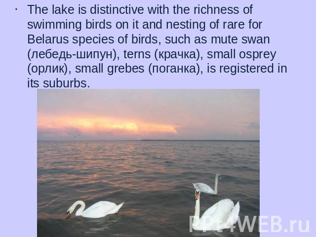 The lake is distinctive with the richness of swimming birds on it and nesting of rare for Belarus species of birds, such as mute swan (лебедь-шипун), terns (крачка), small osprey (орлик), small grebes (поганка), is registered in its suburbs.