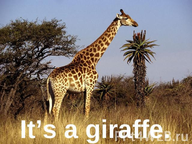 It's a giraffe.