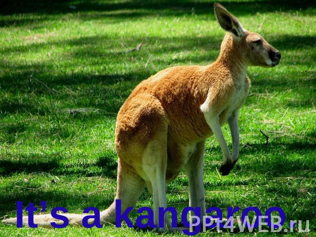 It's a kangaroo.