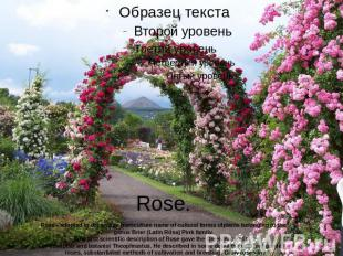 Rose.Rose - adopted in decorative horticulture name of cultural forms ofplants b