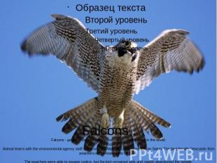 Falcons .Falcons - genus of birds of prey falcons family, widespread in the worl
