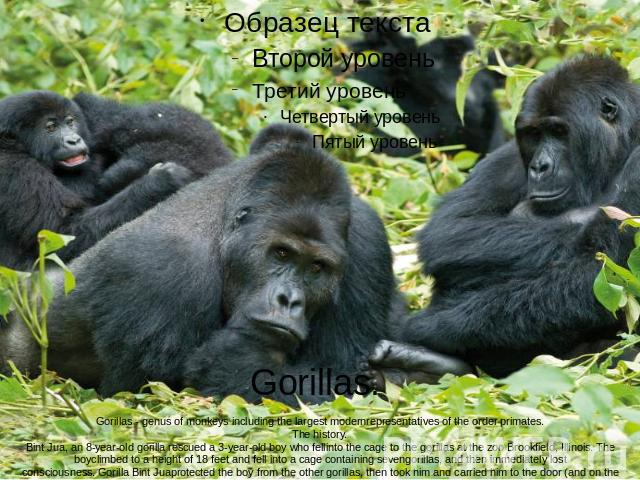 Gorillas. Gorillas - genus of monkeys including the largest modernrepresentatives of the order primates.The history.Bint Jua, an 8-year-old gorilla rescued a 3-year-old boy who fellinto the cage to the gorillas at the zoo Brookfield, Illinois. The b…