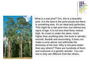 What is a real pine? Yes, this is a beautiful pine. It is the best in the pine-w