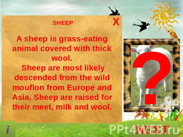 SHEEP A sheep is grass-eating animal covered with thick wool. Sheep are most likely descended from the wild mouflon from Europe and Asia. Sheep are raised for their meet, milk and wool. NEXT