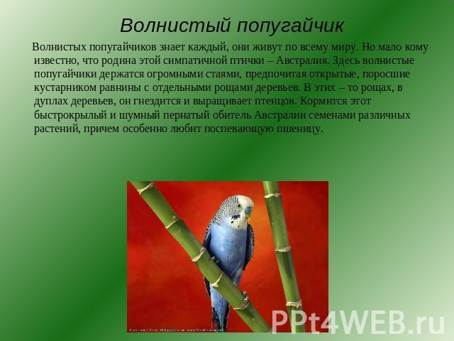 Информация о волнистых попугайчиках