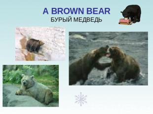 A BROWN BEARБУРЫЙ МЕДВЕДЬ