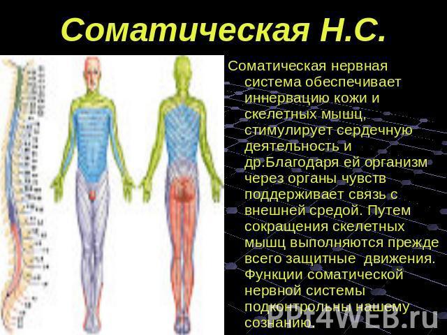 станция, выходите, соматический отдел нервной системы это вместе