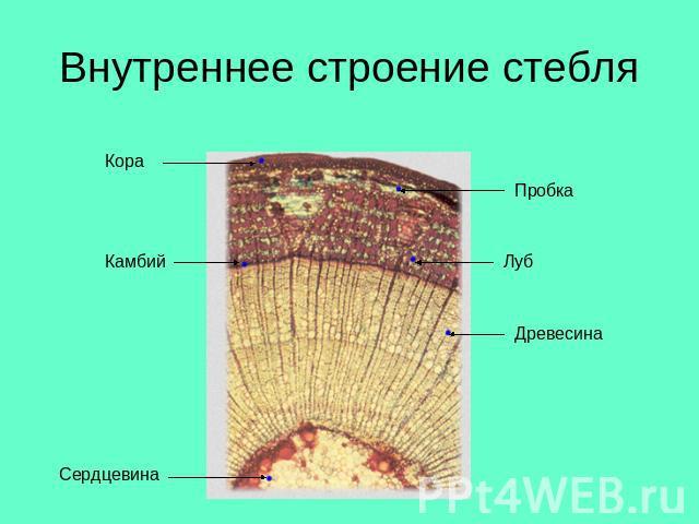 Презентация внутреннее строение стебля