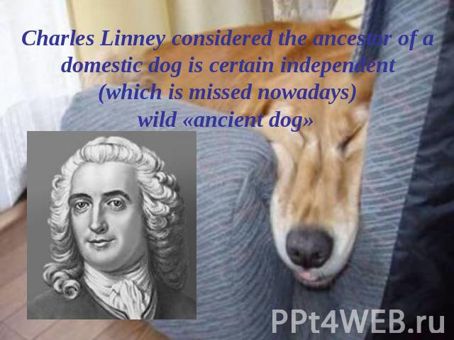 Charles Linney considered the ancestor of a domestic dog is certain independent (which is missed nowadays) wild «ancient dog»