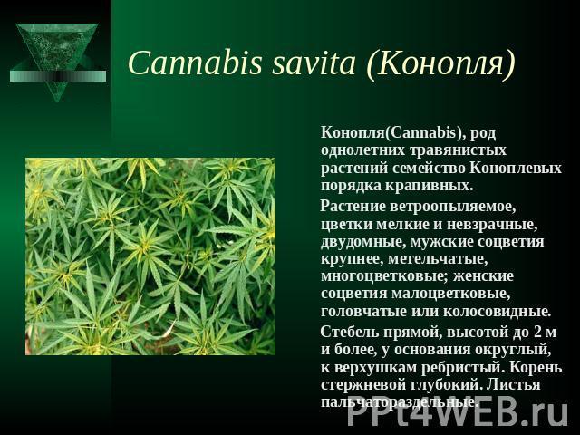 Конопля семейство коноплевых где в праге взять марихуану