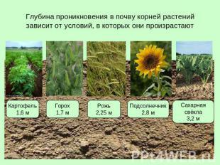 Доклад условия произрастания корней 6923