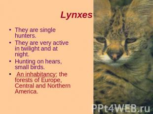 Lynxes They are single hunters.They are very active in twilight and at night.Hun