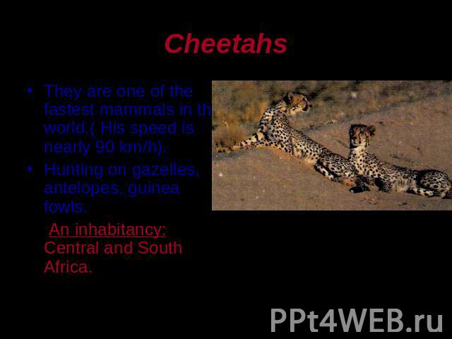 Cheetahs They are one of the fastest mammals in the world.( His speed is nearly 90 km/h).Hunting on gazelles, antelopes, guinea fowls. An inhabitancy: Central and South Africa.