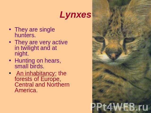 Lynxes They are single hunters.They are very active in twilight and at night.Hunting on hears, small birds. An inhabitancy: the forests of Europe, Central and Northern America.