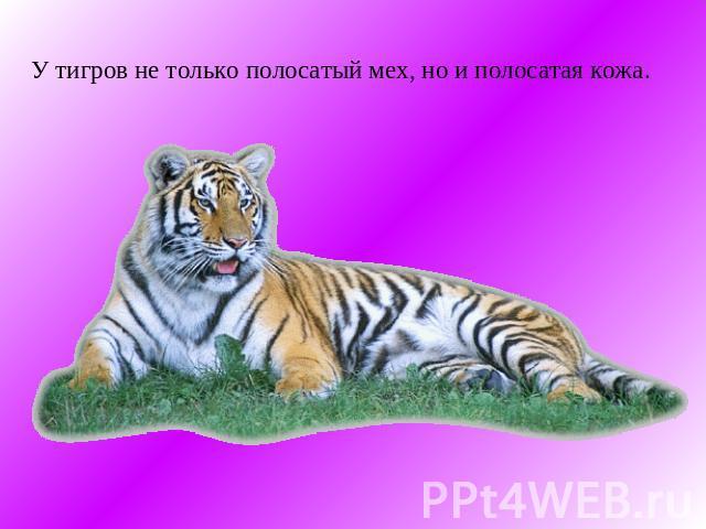 Какой цвет у весов тигр