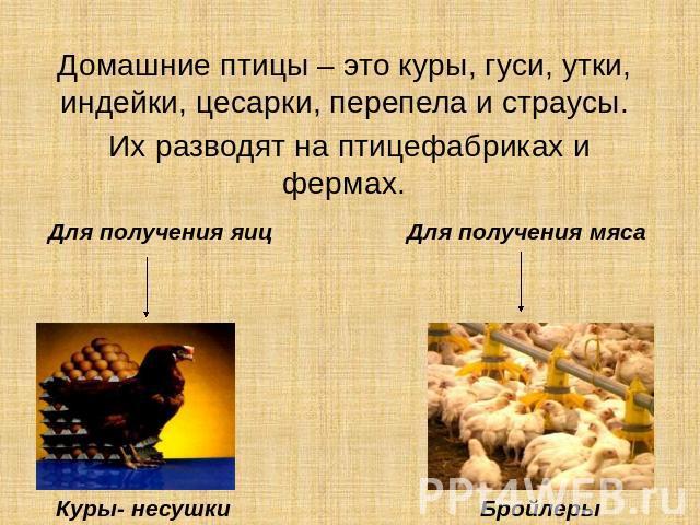 Реферат на тему домашние птицы 5219