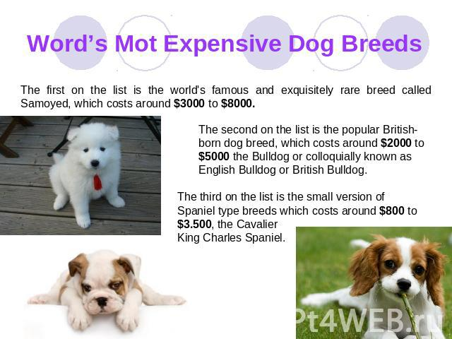 Word's Mot Expensive Dog Breeds The first on the list is the world's famous and exquisitely rare breed called Samoyed, which costs around $3000 to $8000. The second on the list is the popular British-born dog breed, which costs around $2000 to $5000…