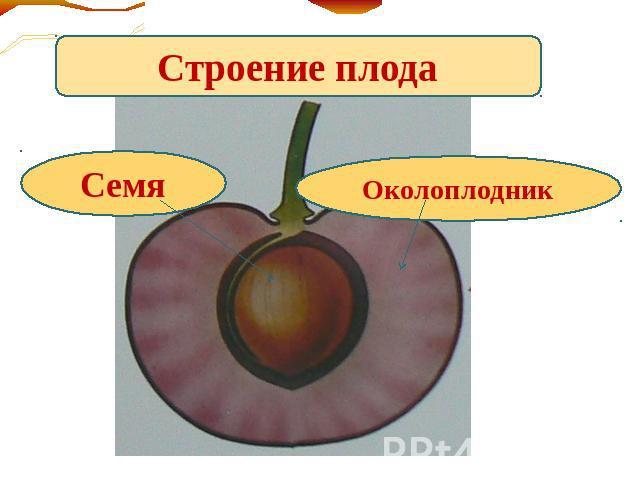 вот, совершенно строение плода вишни в картинках по-разному относиться творчеству