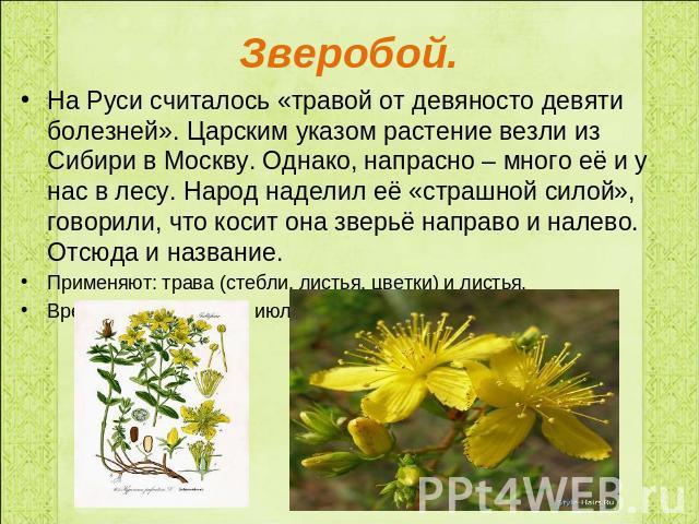 Лекарственные растения класс презентация для начальной школы Зверобой На Руси считалось травой от девяносто девяти болезней Царским указом растение